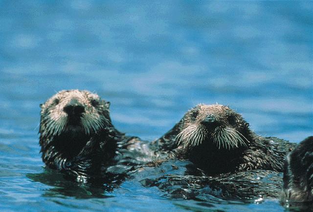 Sea otter image