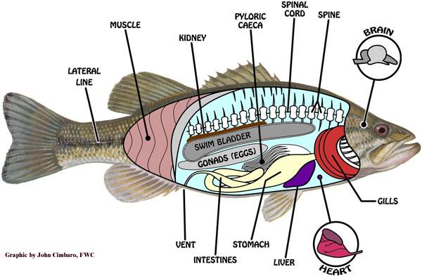 Fish anatomy diagram
