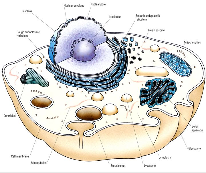 Diagram Of A Typical Animal Cell