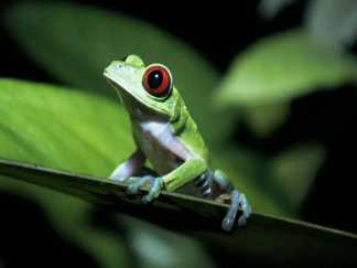 rainforest-animals-redeyedfrog1.jpg