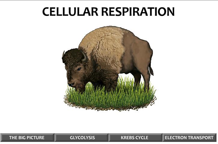 Cellular Respiration Image.PNG