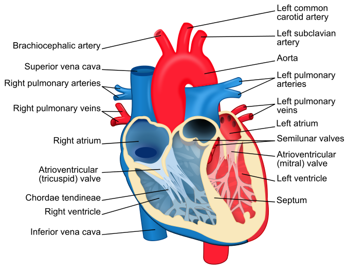 Resources For Learning About The Heart Curriki